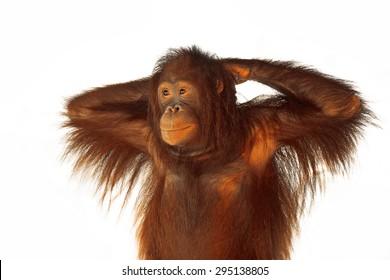 Portrait of Orangutan.