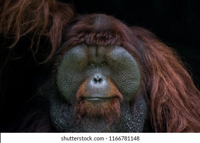Portrait of Orangutan Kalimantan Indonesia or Pongo pygmaeus