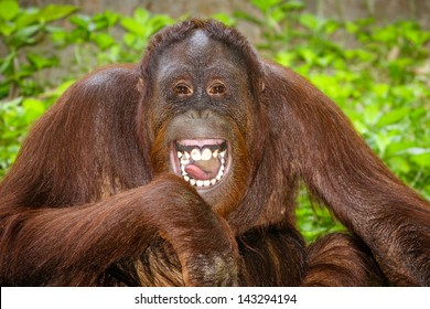 Portrait of Orangutan (Pongo pygmaeus) laughing with mouth wide open