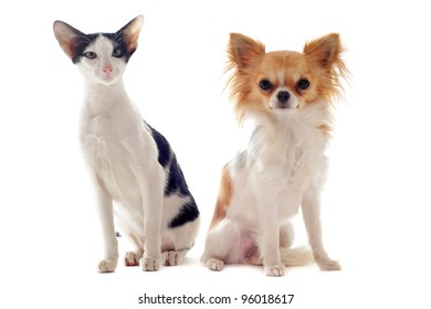 portrait of an oriental cat and a chihuahua  in front of white background