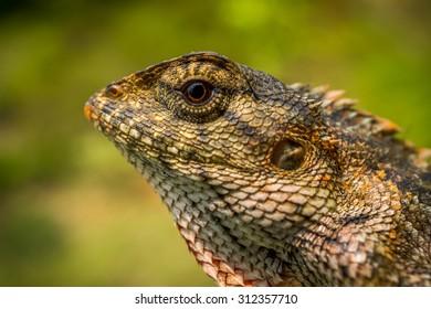 Portrait of oriental garden lizard