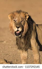 A portrait orientated image of a black maned African lion in the golden light of the morning sun, displaying the scars and injuries of an earlier territorial fight in the Kgalagadi Transfrontier Park.
