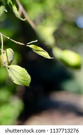 A portrait orientation images of green leaves of the twig of a tree with green foliage in the background in summer