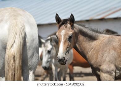 A portrait of Orlov Trotter foal in a herd