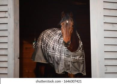 portrait of orlov trotter stallion horse standing in shelter in paddock