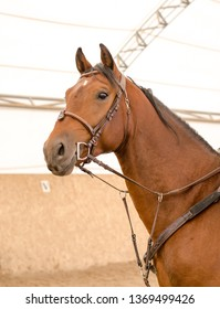portrait of orlov trotter stallion with white spot on forehead during training