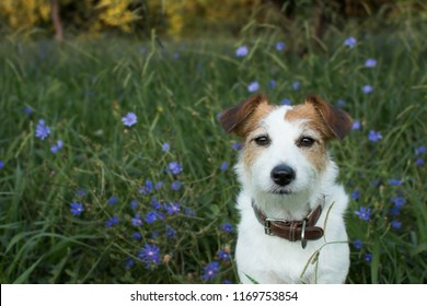PORTRAIT OS A CUTE JACK RUSSELL DOG LOOKING THE CAMERA WITH VIOLET FLOWERS AND GREEN GRASS DEFOCUSED LIKE BACKGROUND IN AUTUMN