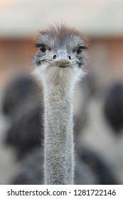 Portrait of ostrich bird looking on camera.