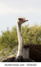 portrait of an ostrich in the blue sky (Struthio camelus)