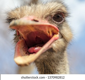 Portrait of an ostrich in nature.