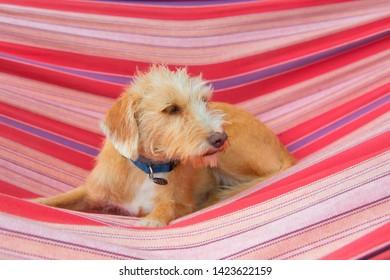 Portrait outdoor little cross breed dog in colorful striped hammock