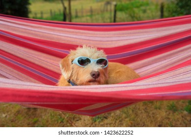 Portrait outdoor little cross breed dog with sunglasses in colorful striped hammock