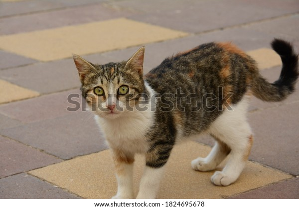 portrait-outdoor-tricolor-cat-closeup-60
