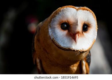 Portrait of an Owl - Barnowl