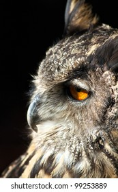 Portrait of an Owl closeup