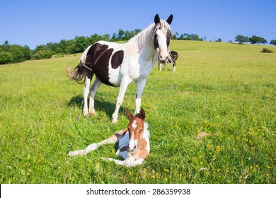 Portrait of paint horse with her foal