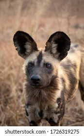 Portrait of a Painted Dog