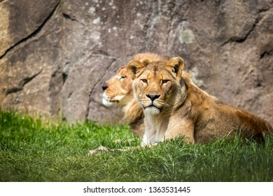 Portrait of  a pair of adult lions in captivity