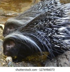 Portrait of a Pair of African Crested Porcupines Hystrix cristata