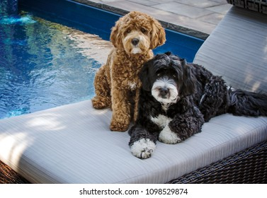 Portrait of a pair of Bernedoodles sitting by a pool on a lounge chair