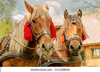 Portrait of pair of brown horses heads, in a  harness stand on the yard of farm. Horse concept. Close-up.