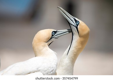 portrait of a pair of cape gannets in the breeding colony of birds on Malgas Island, Langebaan, South Africa
