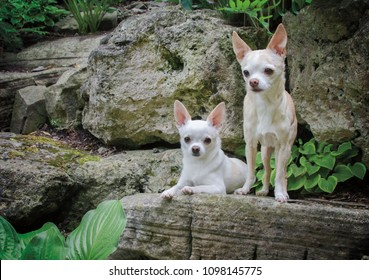 Portrait of a pair of Chihuahuas