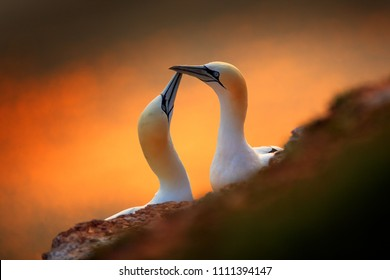 Portrait of pair of Northern Gannet, Sula bassana, evening orange light in the background. Two birds love in sunset, animal love behaviour.
