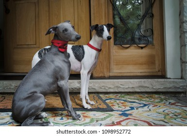 Portrait of a a pair of Whippets