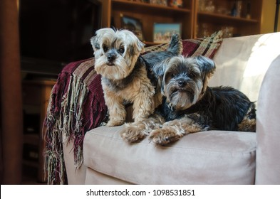 Portrait of a pair of Yorkshire Terriers