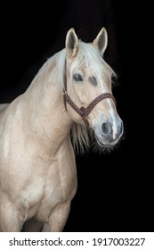 Portrait of a Palomino horse on black background.