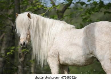 Portrait of palomino Icelandic horse.