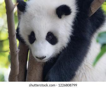 Portrait of panda baby