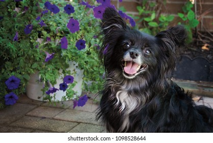Portrait of a Papillion