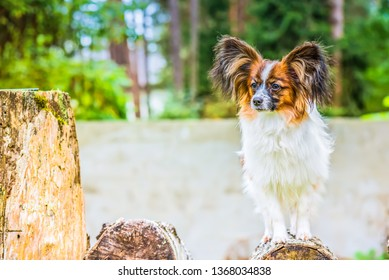 Portrait of a papillon purebreed dog with grass behind