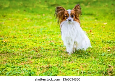 Portrait of a papillon purebreed dog sitting on the grass