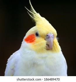 portrait of a parrot Corella