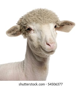 Portrait of partially shaved Merino lamb, 4 months old, in front of white background