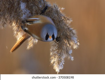 Portrait of passerine bird Bearded parrotbill Panurus biarmicus,feeding on reed bed in warm evening backlight. Male,black moustaches, orange-brown body and long tail,  Close up photo. Czech rep.