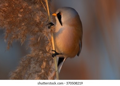 Portrait of passerine bird Bearded parrotbill Panurus biarmicus,very colorful male with  black moustaches,orange-brown body and long tail, perched on orange reed bed  in  warm evening light. Close up.