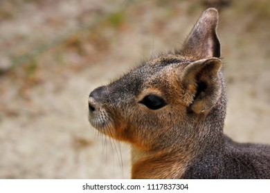 Portrait of Patagonian Cavy Mara (dolichotis mammal). Photography of nature and wildlife.
