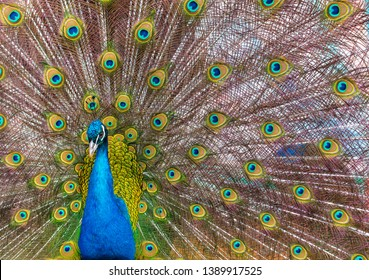 Portrait of a peacock in a zoo.