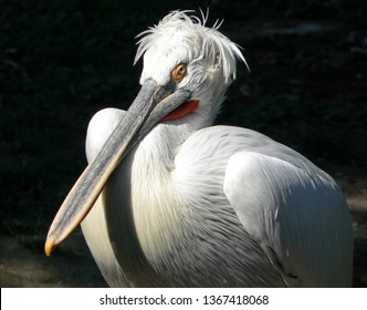 portrait of pelican