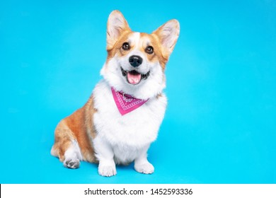 Portrait of a pembroke welsh corgi dog wearing pink bandana tie looking at the camera with mouth open seen from the front on a blue background