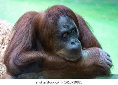 Orangutan and Man Images, Stock Photos & Vectors | Shutterstock