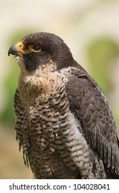 portrait peregrine falcon