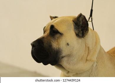 Portrait of a Perro de Presa Canario dog at a dog show