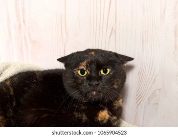 portrait of a perturbed Tortoiseshell tortie tabby cat looking at viewer with ears flat down eyes wide and dilated. Angry scared cat.