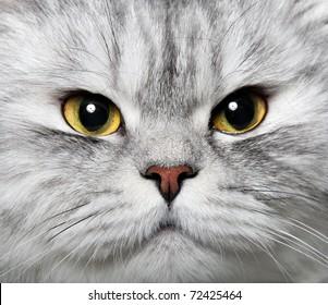 Portrait of a pet Persian cat, close-up