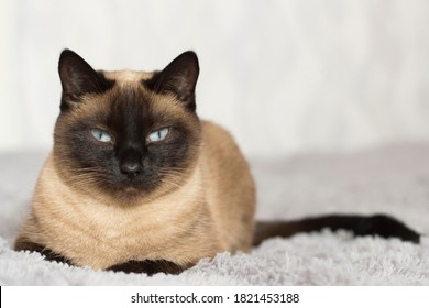 portrait of a pet, Thai cat with blue eyes lying on the sofa, Thai cat color  seal point